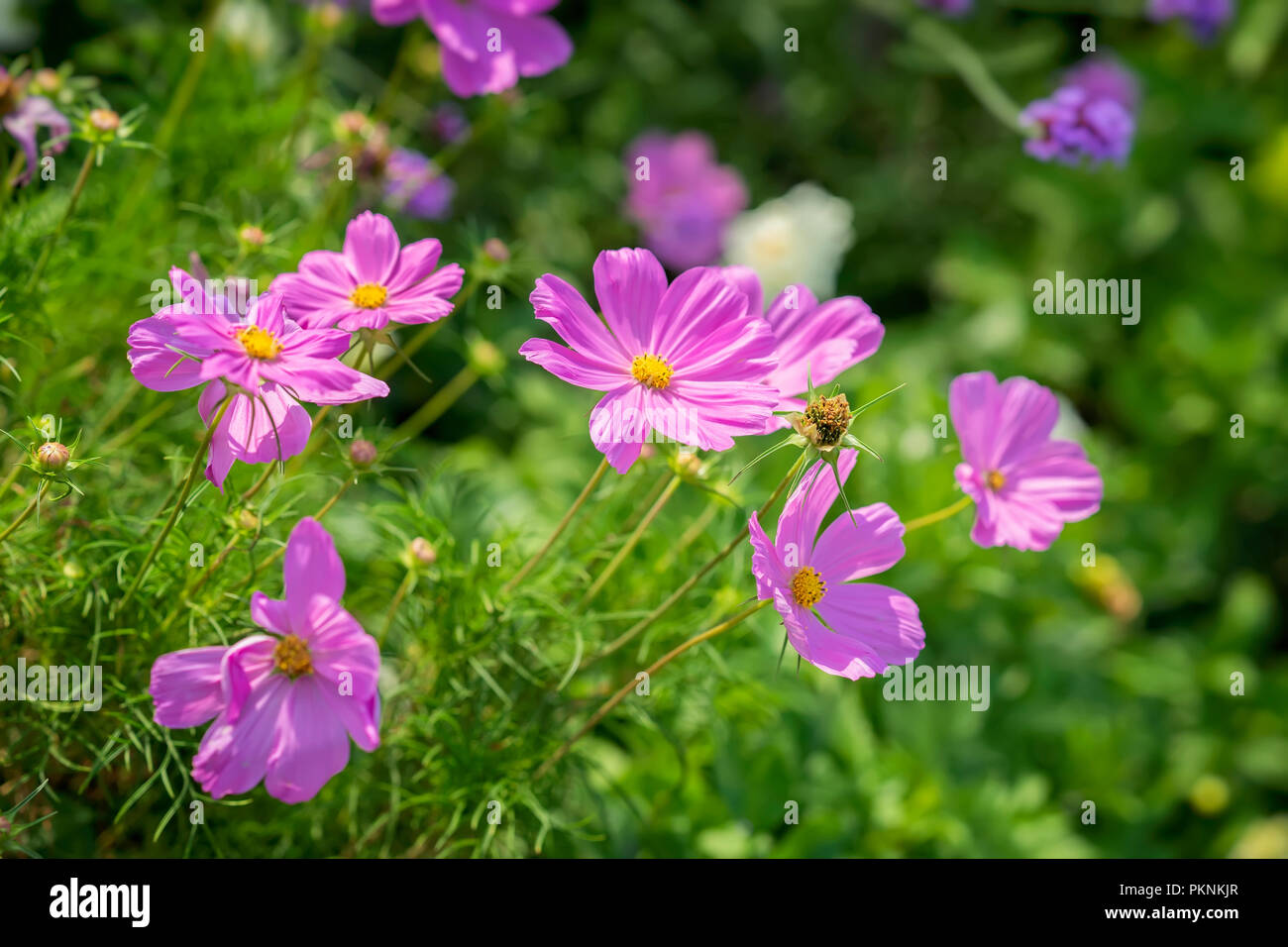 Cosmos Flowers Herbaceous Plants Elegant Plants With Pink Purple