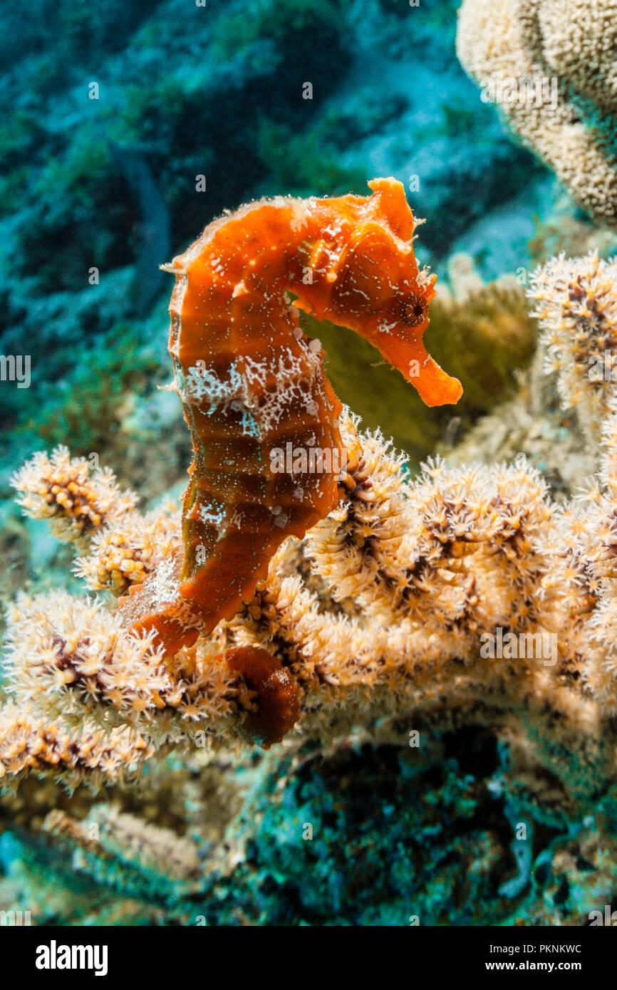 Pacific Seahorse, Hippocampus ingens, La Paz, Baja California Sur, Mexico - Stock Image