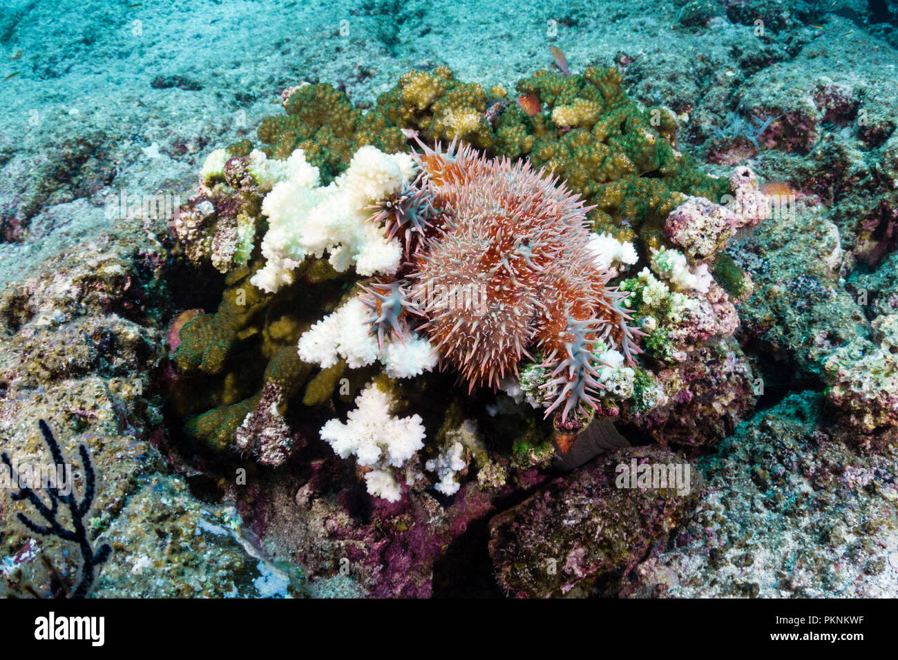 Panamic Crown of Thorns Starfish, Acanthaster ellisii, La Paz, Baja California Sur, Mexico - Stock Image