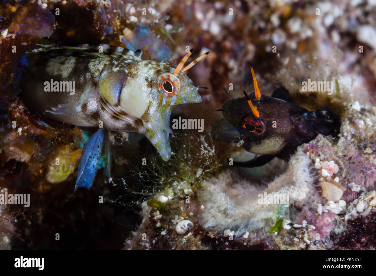 Signal Blenny in threatening posture, Emblemaria walkeri, La Paz, Baja California Sur, Mexico - Stock Image