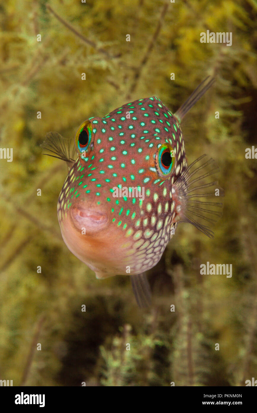 Spotted Sharpnose Puffer, Canthigaster punctatissima, La Paz, Baja California Sur, Mexico Stock Photo