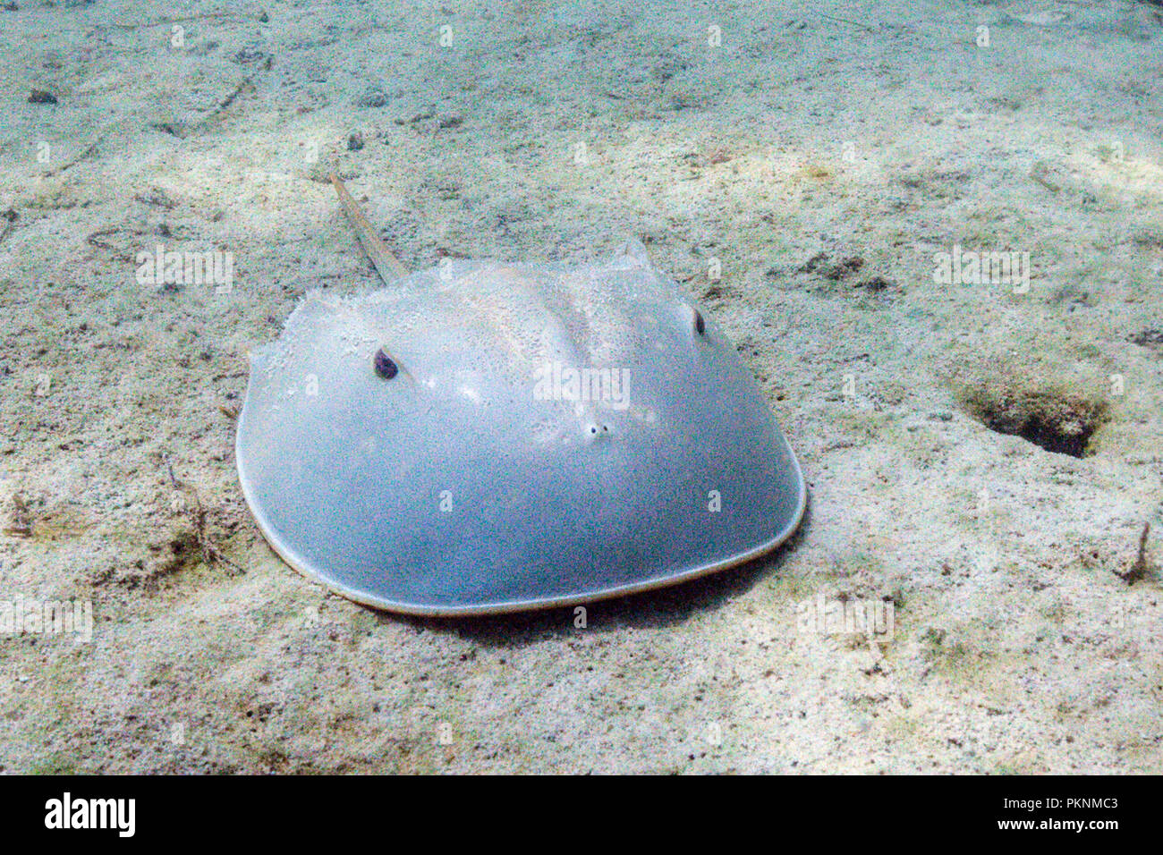 Horseshoe Crab in Mangroves, Limulus polyphemus, Cancun, Yucatan, Mexico - Stock Image