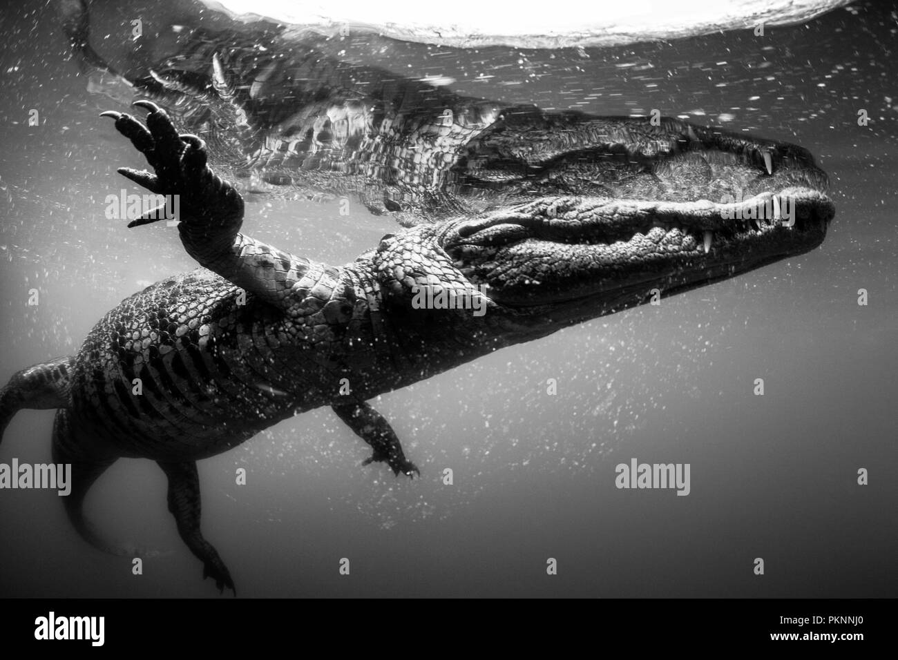 Morelet's Crocodile, Crocodylus moreletii, Cancun, Yucatan, Mexico - Stock Image