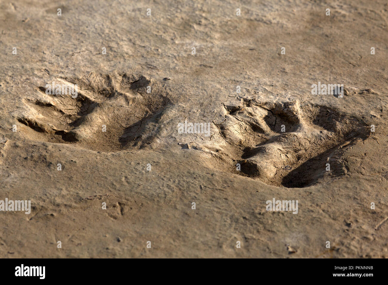 Bear tracks left on muddy ground in the subarctic in Manitoba, Canada. The tracks have been left by a polar bear. - Stock Image