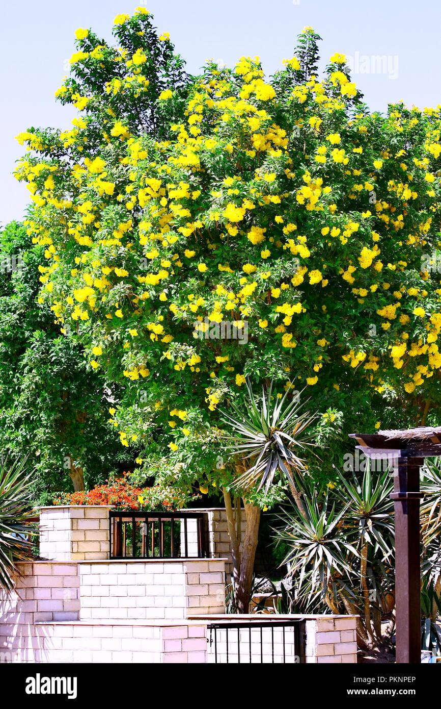 Ornamental Tree With Yellow Flowers Stock Photos Ornamental Tree