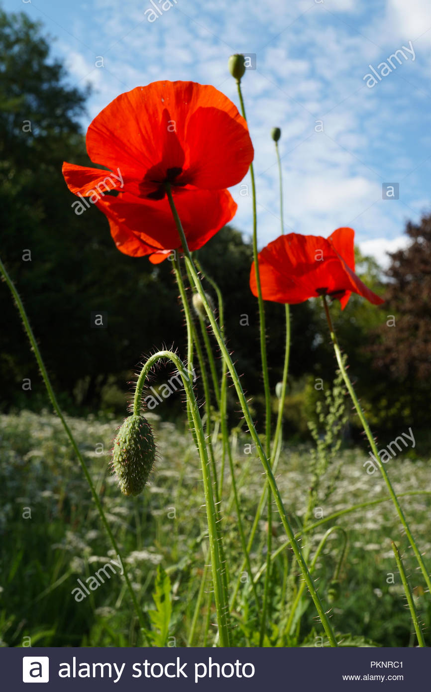 Intensive Red Wild Poppy Flowers On Meadow Stock Photo 218682241