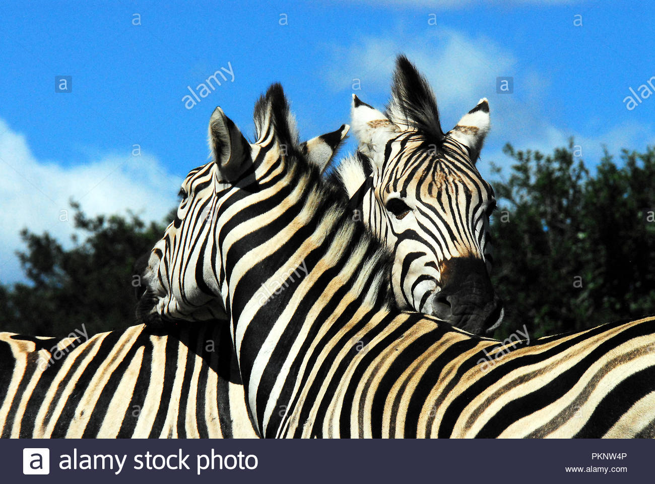What a cute and romantic image.  Wild Zebras showing affection. - Stock Image