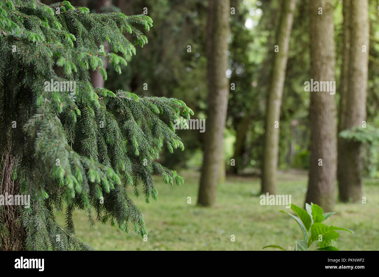 Fir tree branch close-up against a spruce forest, background of straight trunks of spruces. Green natural background. - Stock Image