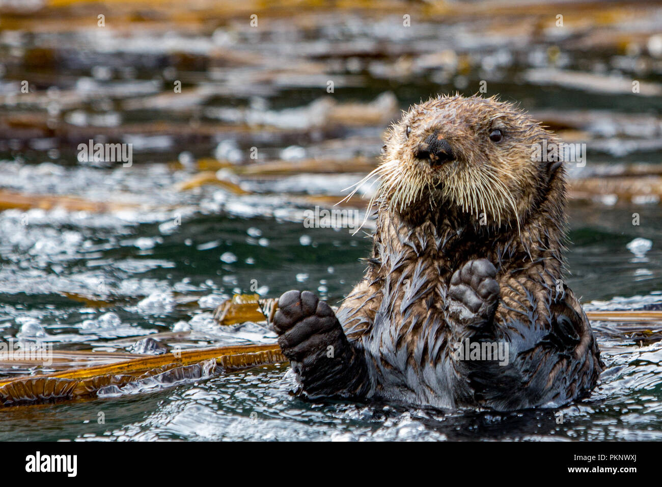 Sea otter, Enhydra lutris, a marine mammal and wildlife highlight in the kelp forest of Southeast Alaska, United States of America - Stock Image