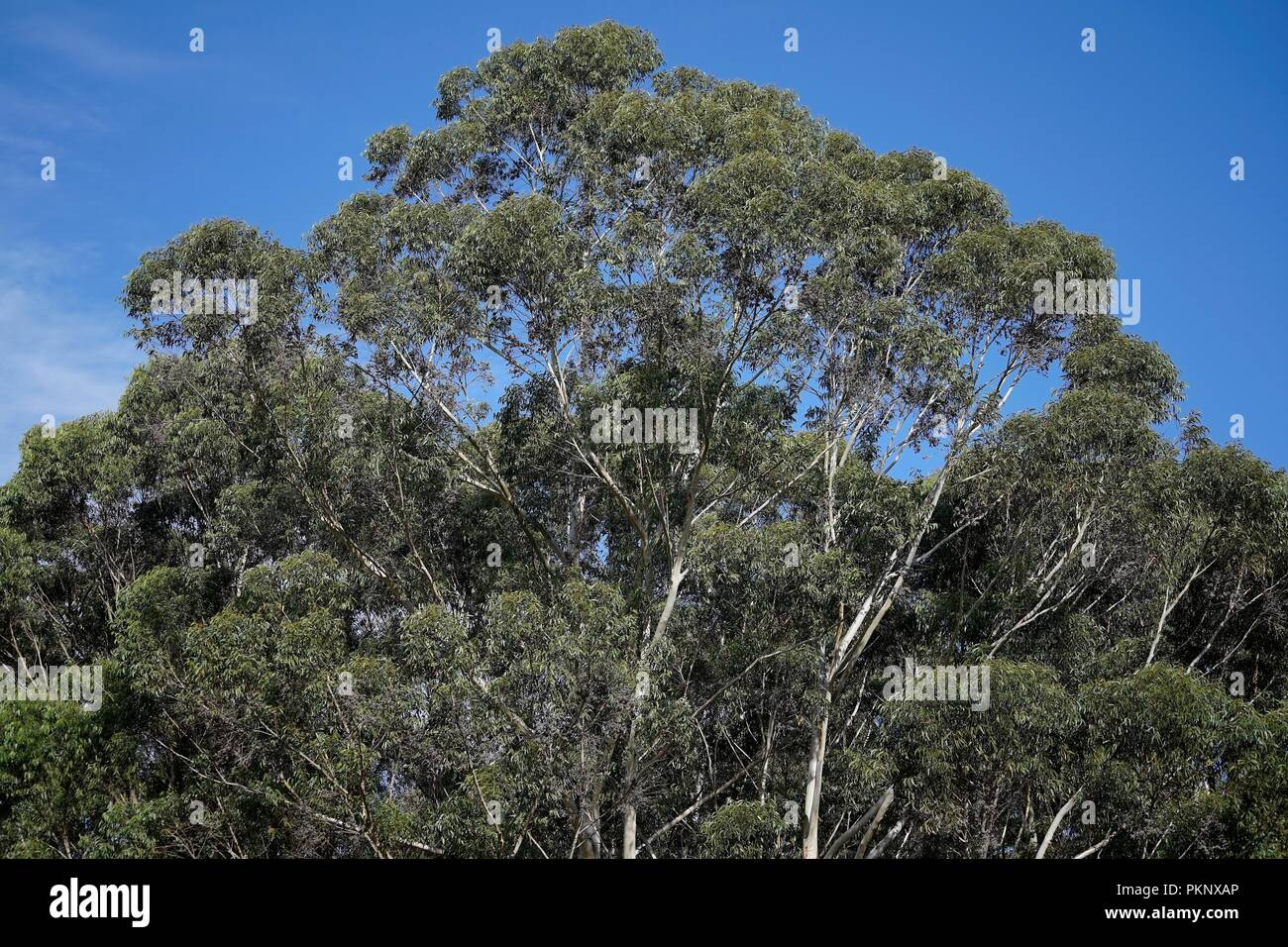 Eucalypt trees, an Australian native plant, showing the canopy with clear blue sky above. - Stock Image