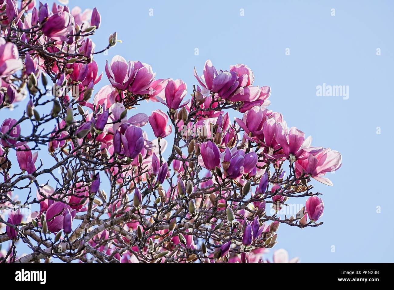 Looking Up Into The Canopy Of A Large Magnolia Tree Filled With