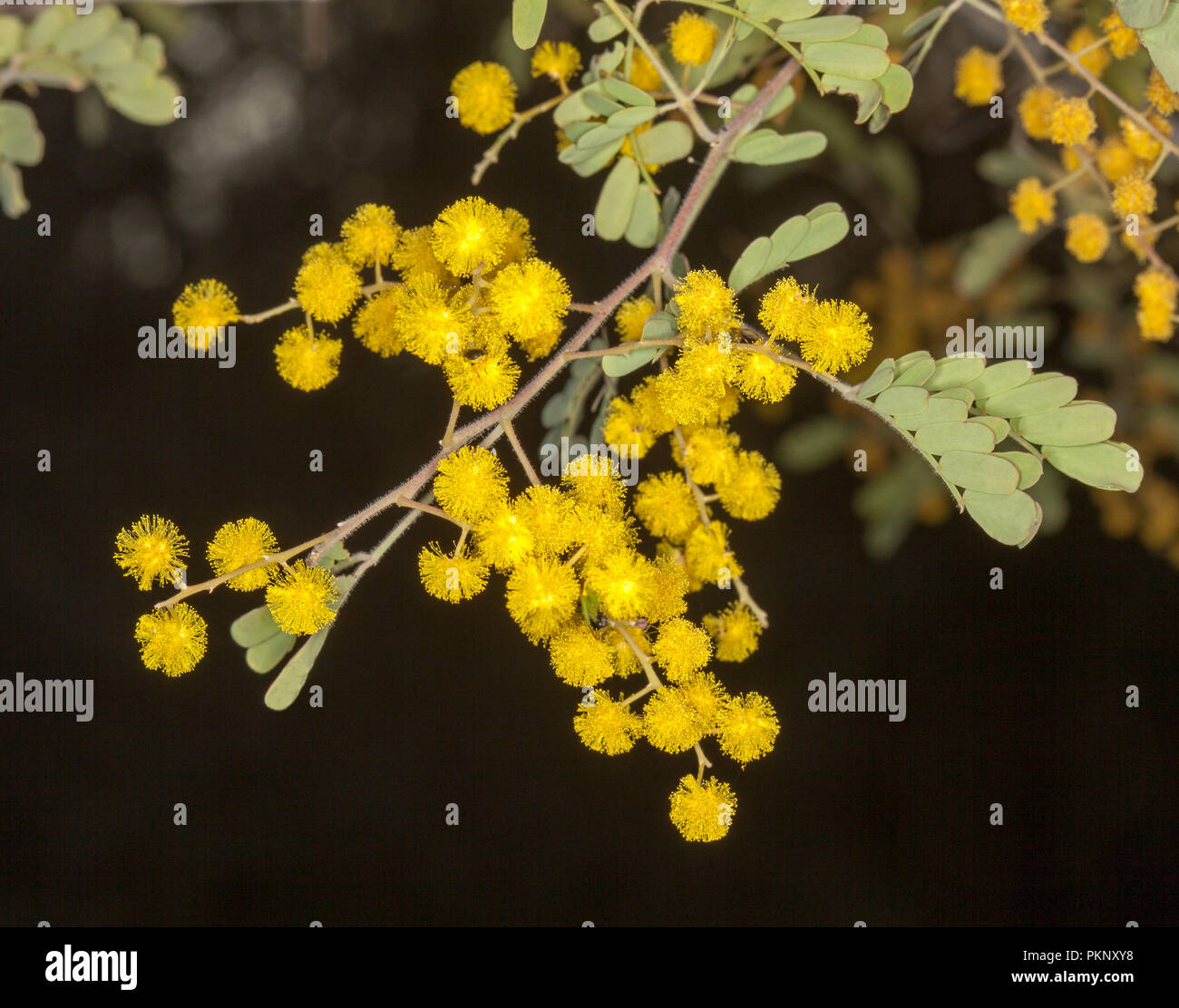 Australian wildflowers, cluster of golden yellow Acacia / wattle flowers and green leaves on dark background - Stock Image