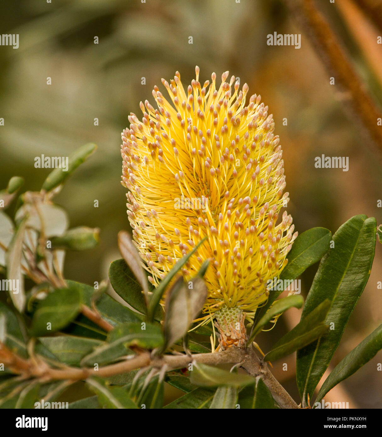 Australian Wildflowers Large And Stunning Golden Yellow Flower And