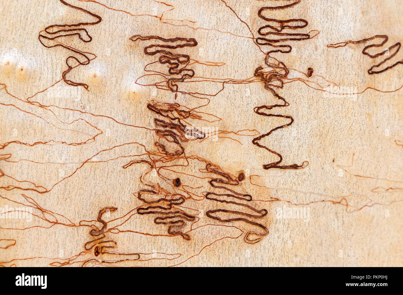 Worm track on tree bark, Australian Scribbly Gum. Royal National Park, Sydney, NSW, Australia. - Stock Image