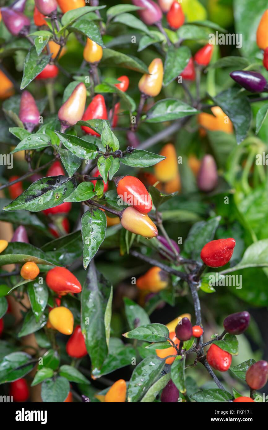premium selection 390b0 d1f40 Capsicum annuum 'Fairy Lights'. Chilli peppers 'Fairy Lights ...