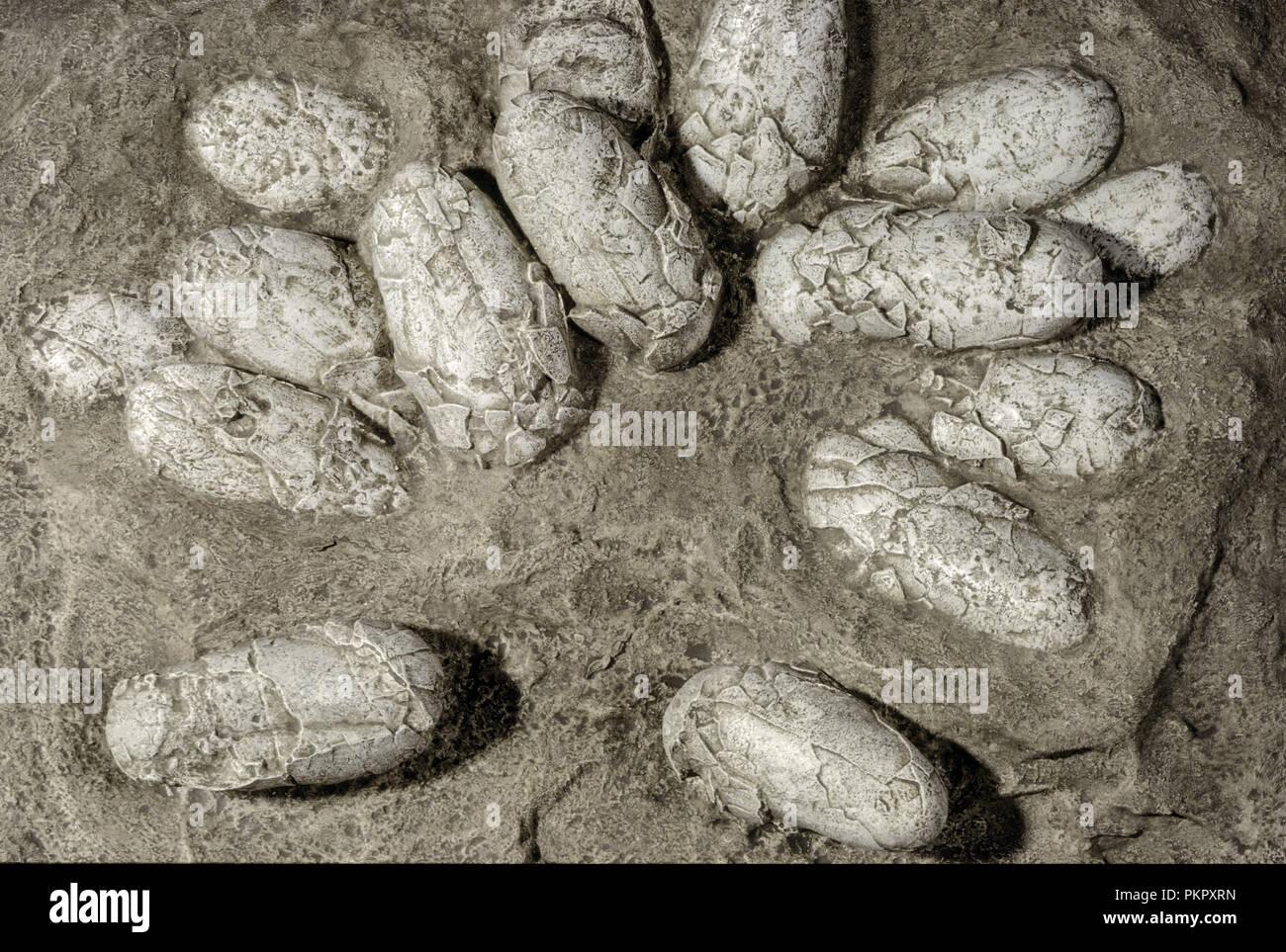 Fossilized Dinosaur Egg Nest (Protoceratops), Gobi Desert - Stock Image