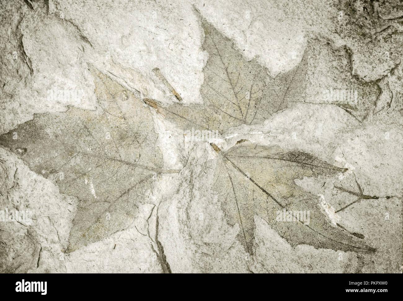 Fossilized Maple Leaves (Acer trilobatum), Miocene, Dolomite, Switzerland - Stock Image