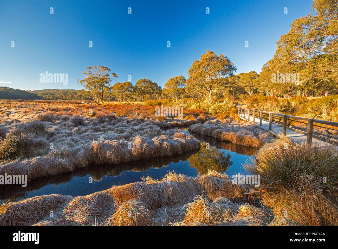Landscape of golden frost-cloaked grasses of Polblue swamp with adjacent forests & blue sky reflected in stream at Barrington Tops National Park NSW - Stock Image