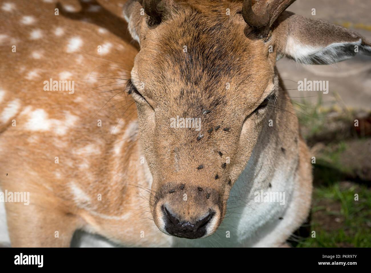 Fallow deer. - Stock Image