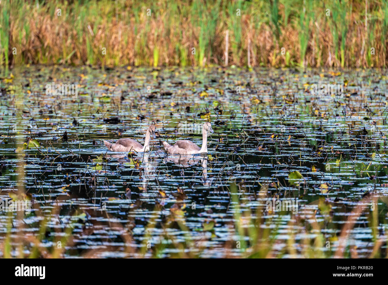 Swan. Swans, - Stock Image