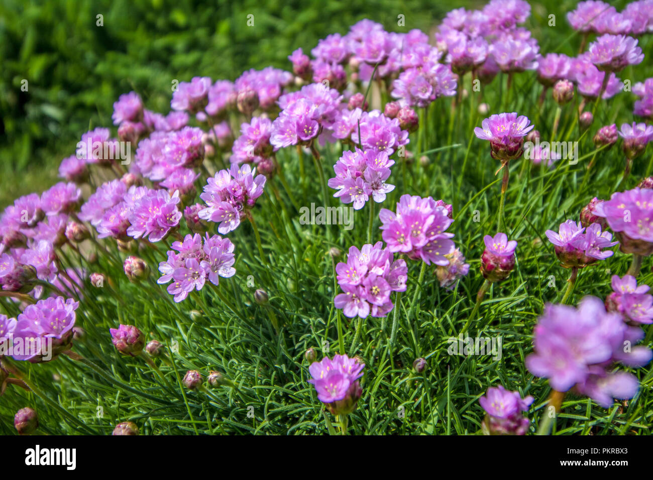 Sea Pink Thrift Flowers Growing Stock Photos Sea Pink Thrift