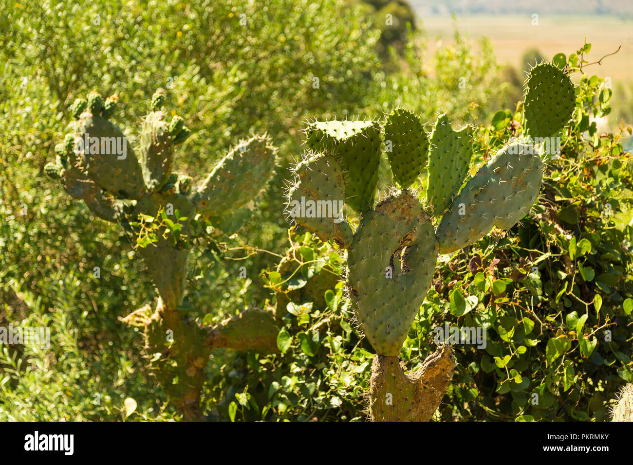 Prickly pears. Opuntia ficus-indica. also known as indian figs, opuntia, barbary figs, and cactus pears. Photo taken in Albania. - Stock Image