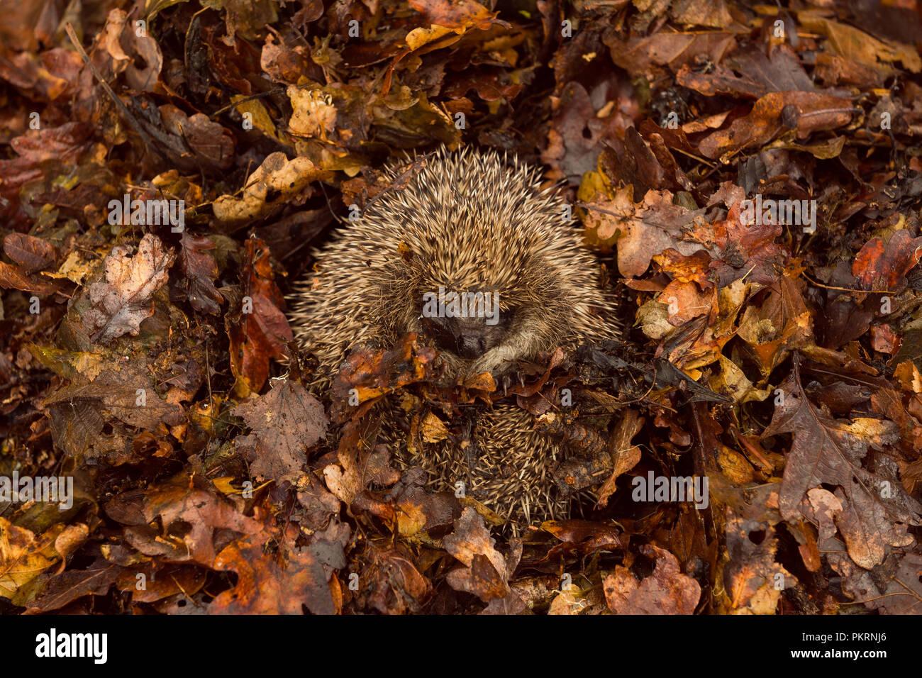 Hedgehog, native, wild, European hedgehog hibernating in Autumn leaves.  Scientific name: Erinaceus europaeus.  Landscape - Stock Image