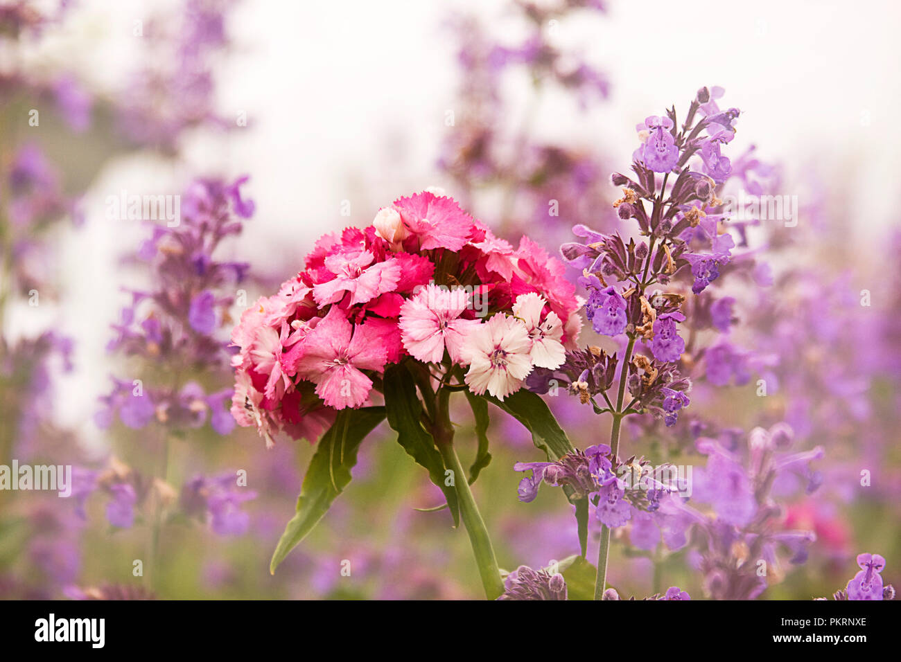 Closeup of purple and pink country flowers in cottage flower garden - Stock Image