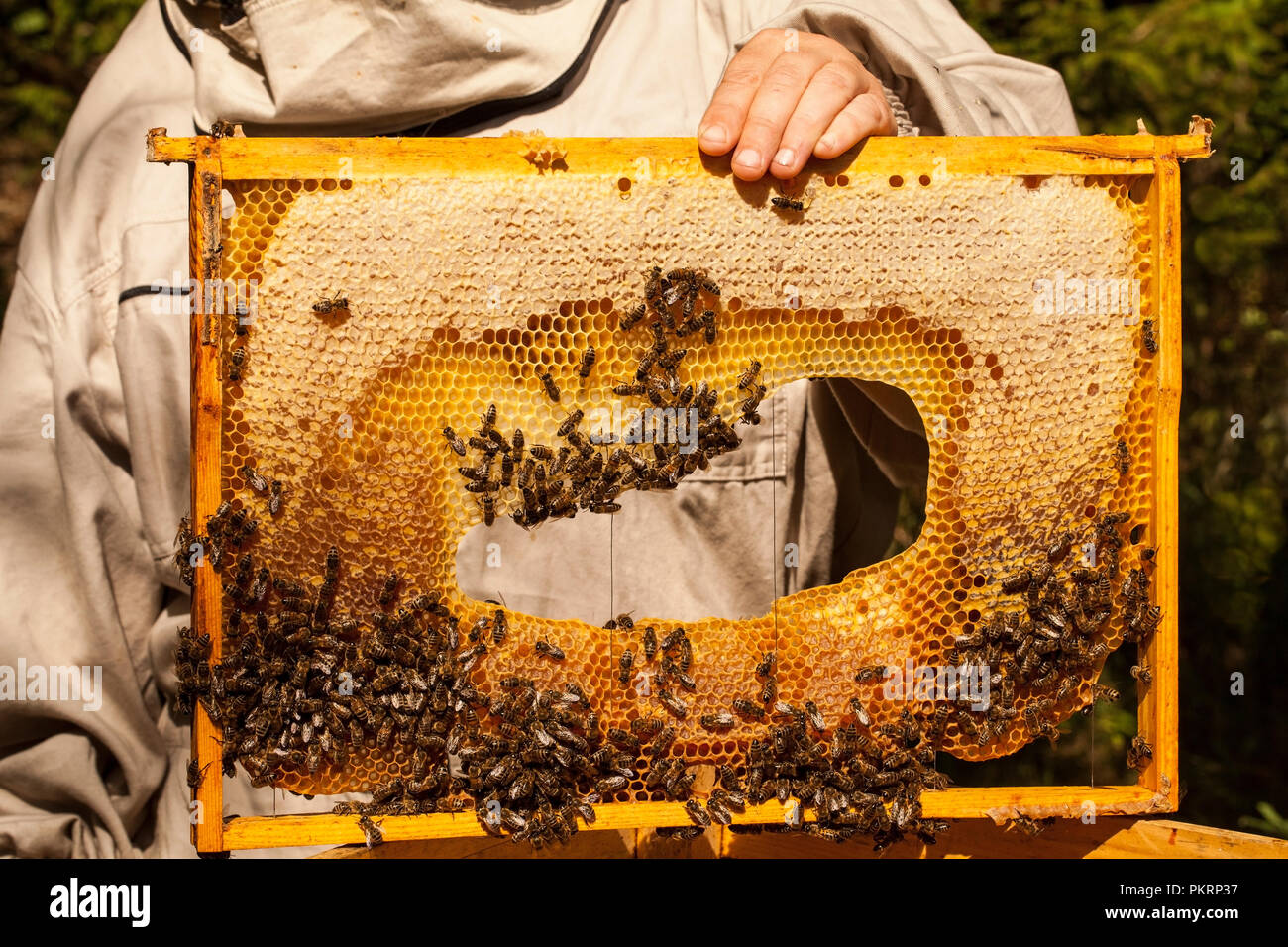 Beekeeper is working with bees and beehives on the apiary. - Stock Image