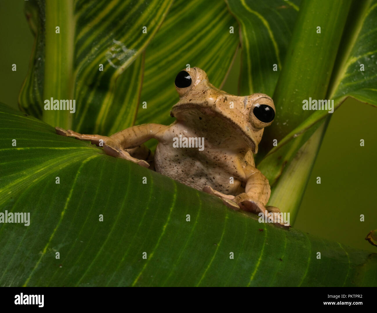 File-eared tree frog, Borneo eared frog or bony-headed flying frog, Polypedates otilophus Stock Photo