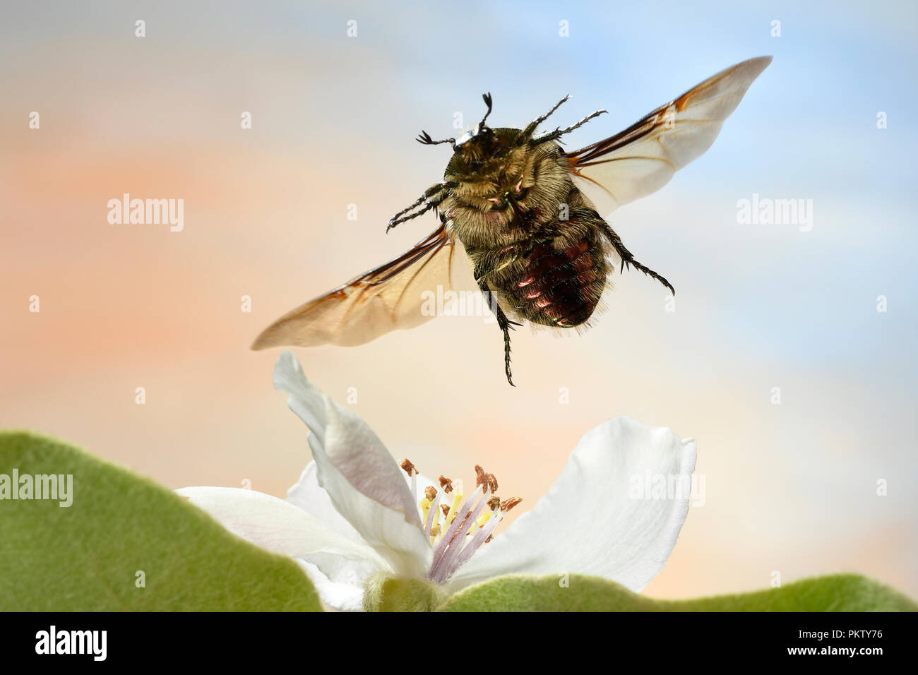Rose beetle (Cetonia aurata), in flight, apple quince blossom, Germany - Stock Image