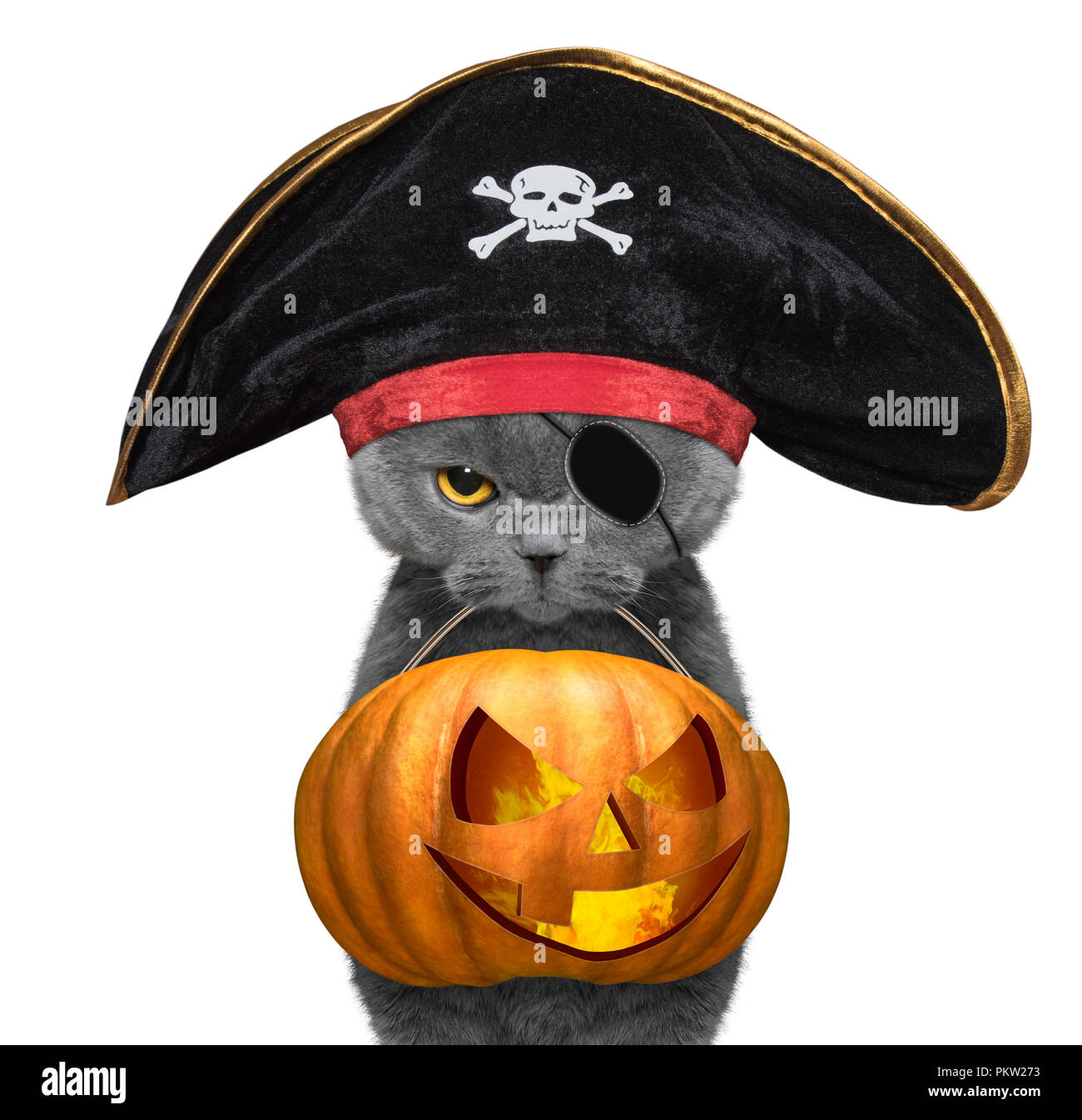 90b05736404 Cute cat in pirate hat hold halloween pumpkin in the mouth - isolated on  white -