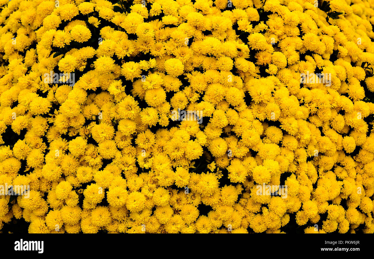 Cluster of Yellow Mums - Stock Image