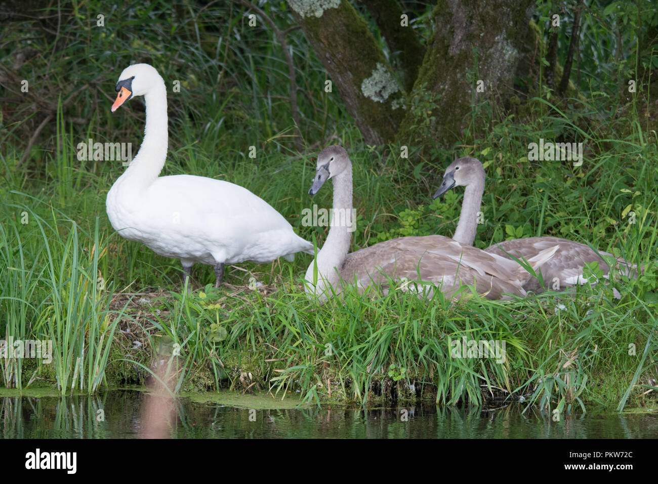 Family of mute swans with cygnets beside the River Test near Stockbridge in Hampshire, UK - Stock Image