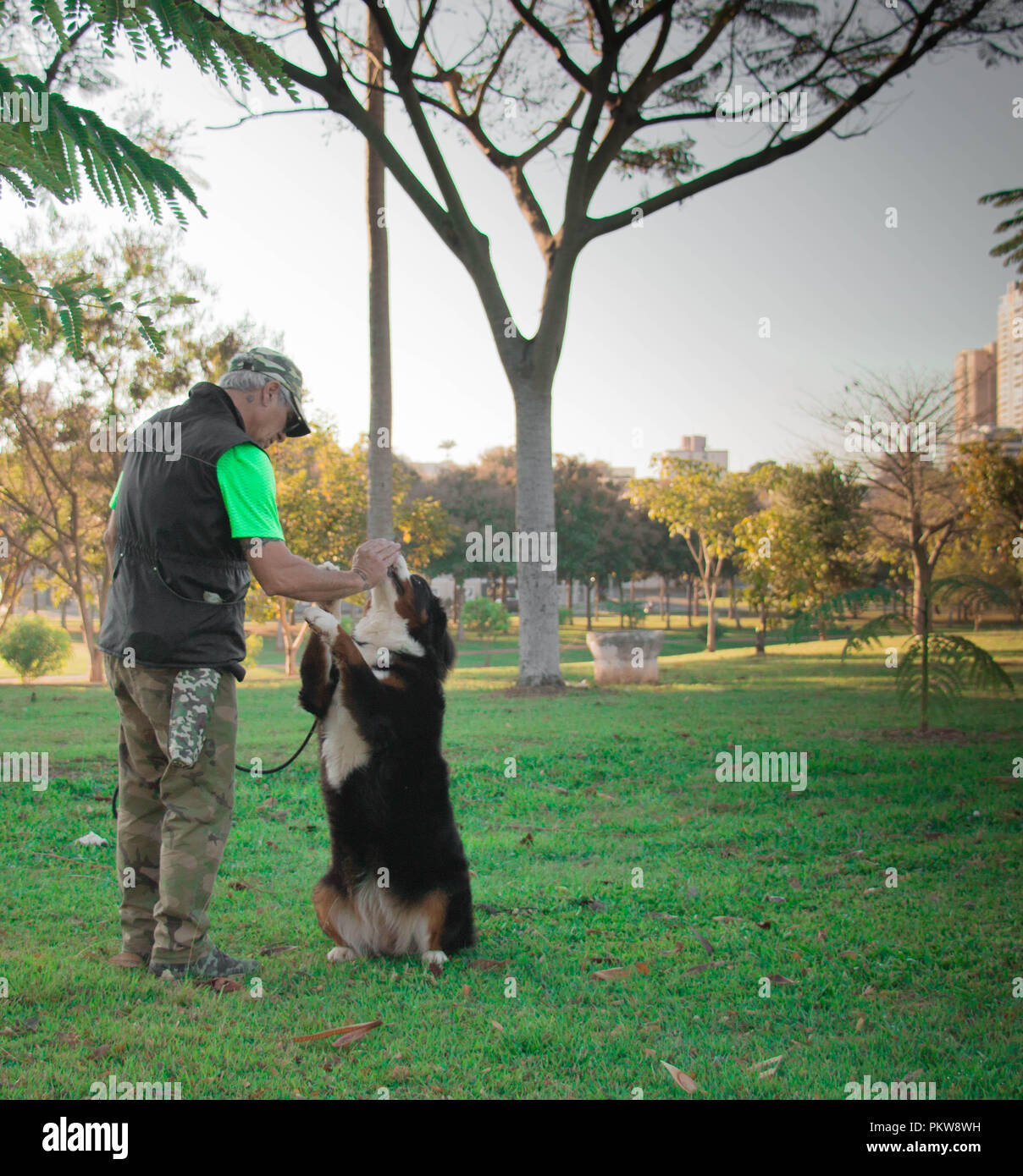 Dog trainer training a Bernese Mountain Dog, mastiff, in the park. - Stock Image
