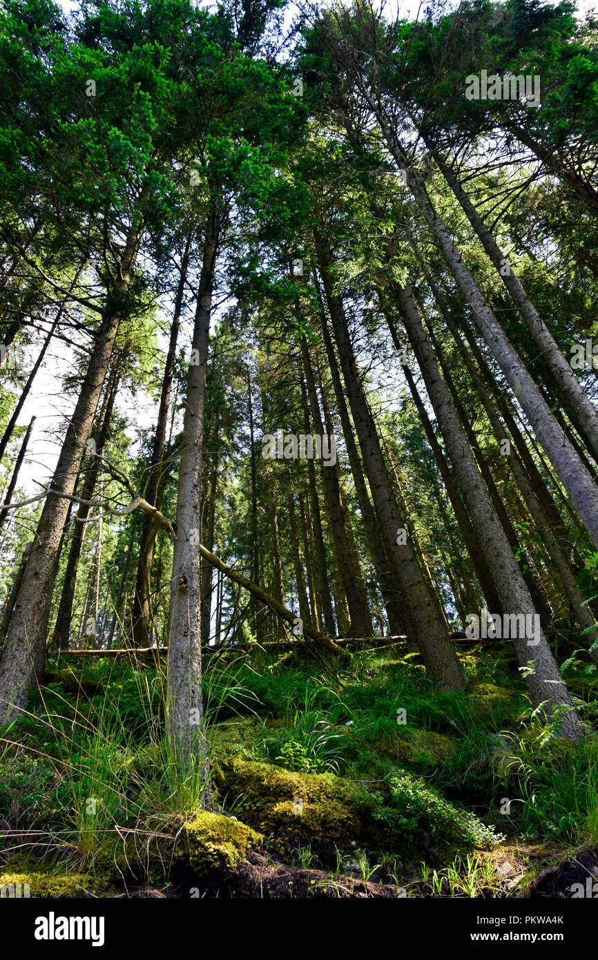 Scenic frog perspective view of standing tall spruces and fallen trunks - Stock Image