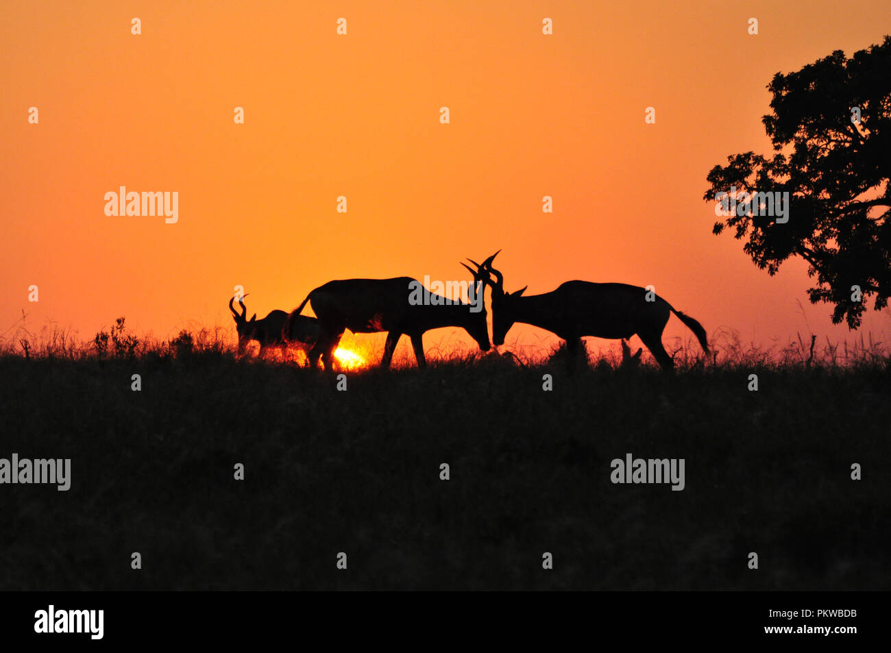 Two young Hartebeest Antelope are using their horns to fight for mating privileges at a safari sunrise in South Africa. - Stock Image