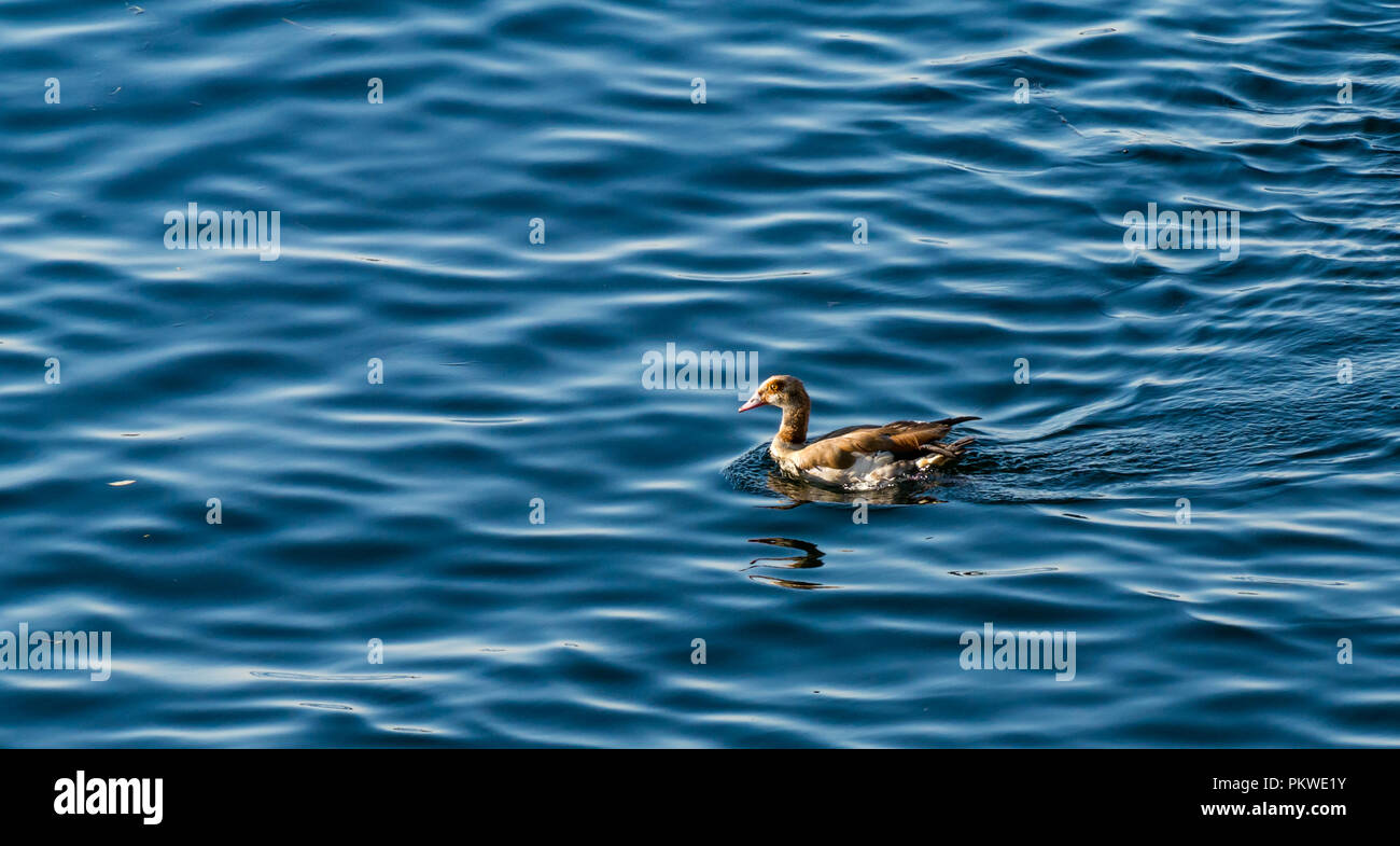 Colourful Egyptian goose, Alopochen aegyptiaca, swimming in shimmering water, Nile River, Aswan, Egypt, Africa - Stock Image
