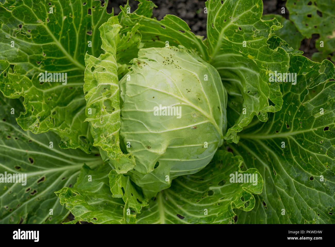 Ripe fork cabbage with green leaves in the wild - Stock Image