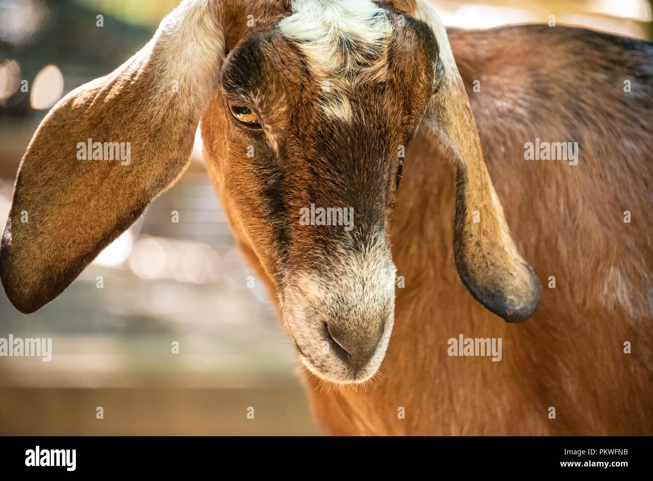 Nubian goat at the petting zoo in the Outback Station Children's Zoo within Zoo Atlanta near downtown Atlanta, Georgia. (USA) - Stock Image
