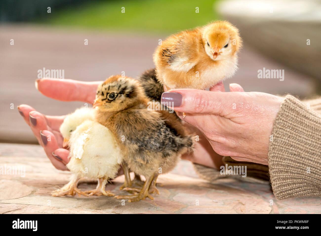Small Chicken Chicks Baby Cute Chickens Stock Photo