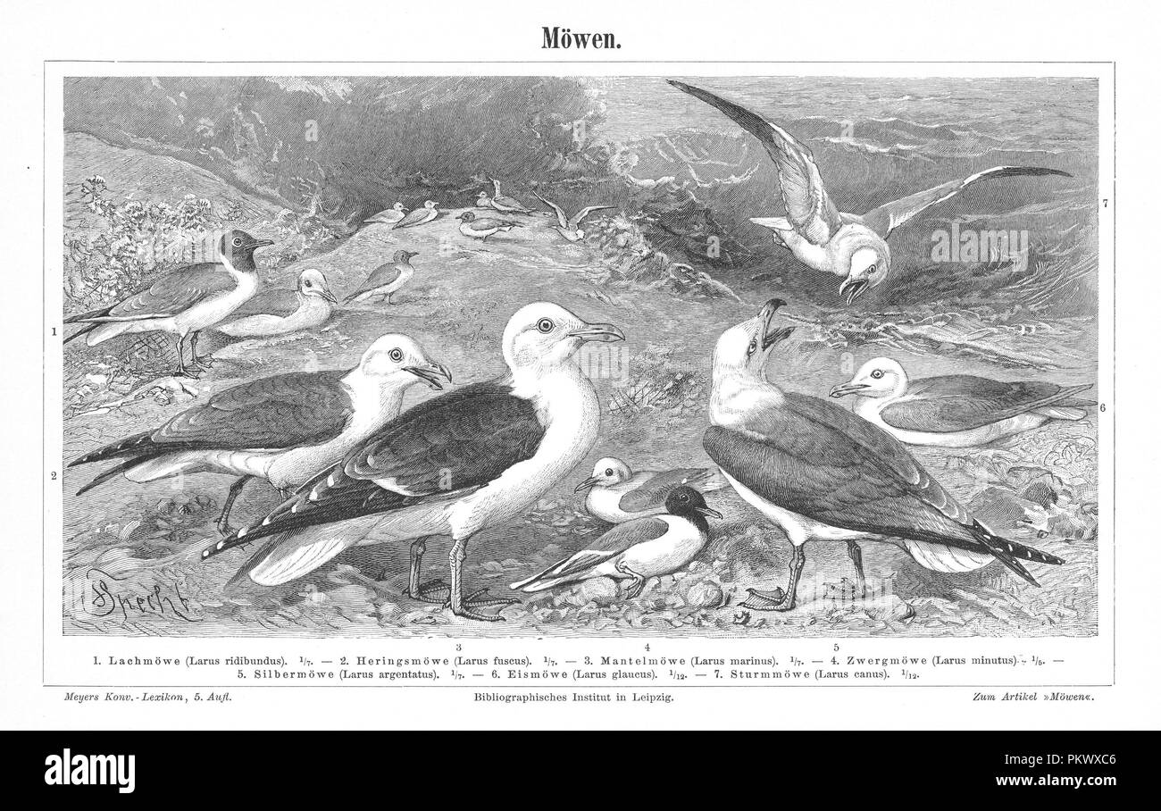 Sea Gulls, Antique book illustrations, scanned. Fauna. Meyers Konversations-Lexikon, anno 1897, by Bibliographisches Institut. Images contain a set of birds, originally illustrated for encyclopedias of the late 1800s. - Stock Image