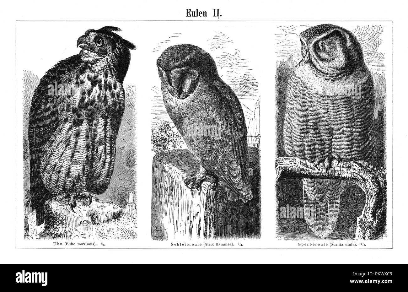Owls, Antique book illustrations, scanned. Fauna. Meyers Konversations-Lexikon, anno 1897, by Bibliographisches Institut. Images contain a set of birds, originally illustrated for encyclopedias of the late 1800s. - Stock Image