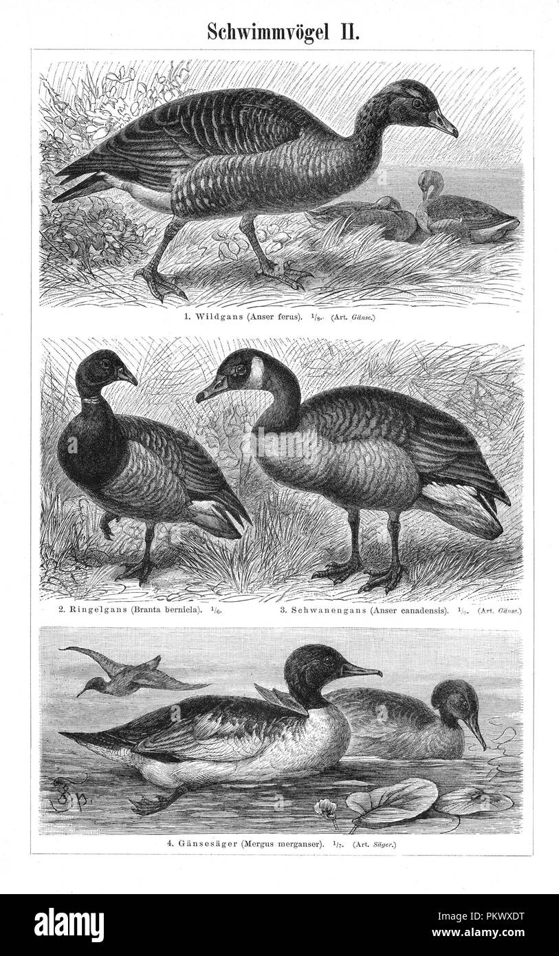 Swimming Birds, Antique book illustrations, scanned. Fauna. Meyers Konversations-Lexikon, anno 1897, by Bibliographisches Institut. Images contain a set of birds, originally illustrated for encyclopedias of the late 1800s. - Stock Image