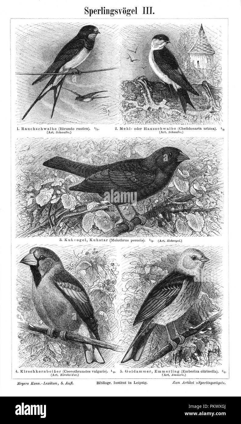 Passerine Birds, Antique book illustrations, scanned. Fauna. Meyers Konversations-Lexikon, anno 1897, by Bibliographisches Institut. Images contain a set of birds, originally illustrated for encyclopedias of the late 1800s. - Stock Image