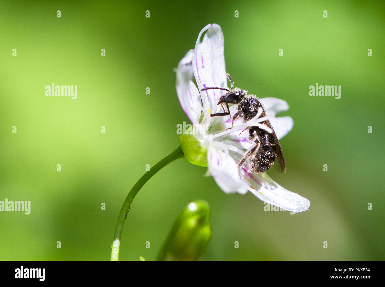 A bee collects pollen from a candy flower (Claytonia sibirica) in Oregon. Stock Photo