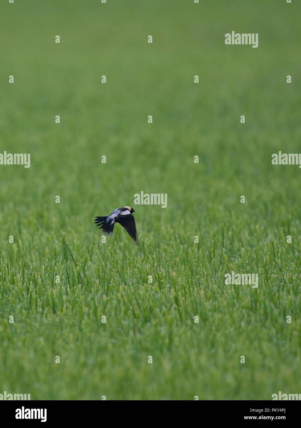 Bobolinks :: Dolichonyx oryzivorus - Stock Image