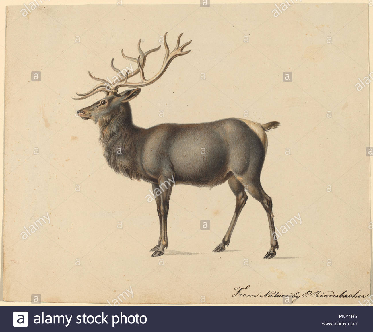 European Elk. Dimensions: sheet (approximate): 16 × 19.5 cm (6 5/16 × 7 11/16 in.). Medium: gouache on wove paper. Museum: National Gallery of Art, Washington DC. Author: Peter Rindisbacher. - Stock Image