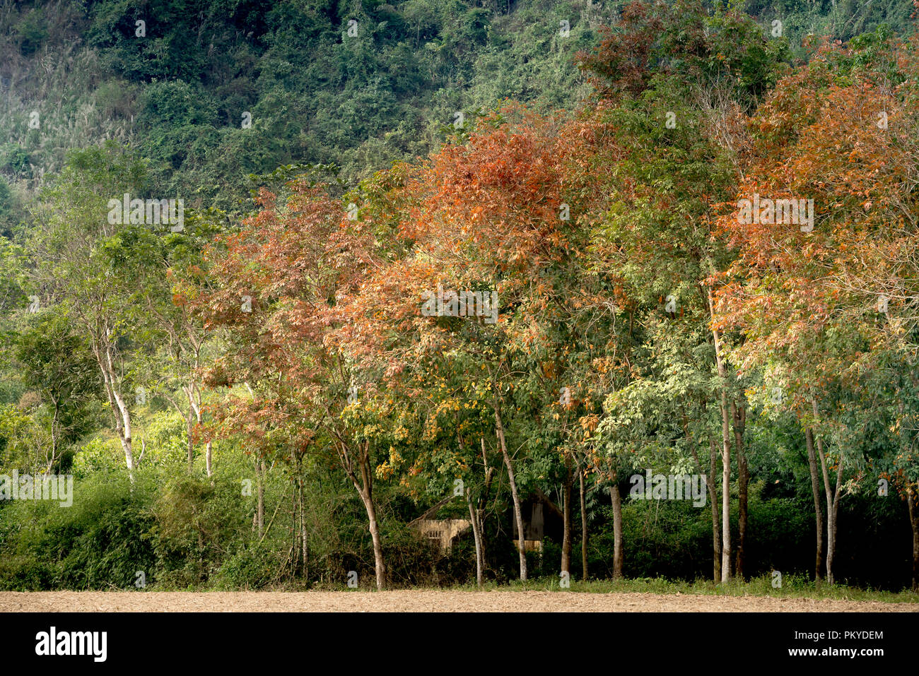 Rubber tree autumn colors in Vietnam - Stock Image