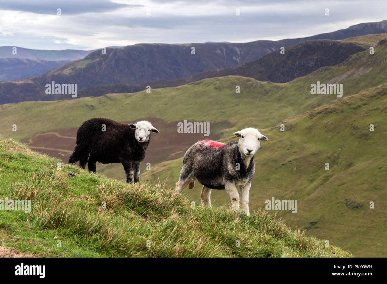 Herdwick Ewe with her Lamb on Knott Rigg Lakeland Fell, Lake District, Cumbria, UK - Stock Image